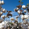 Top 10 Most Cotton Producing Countries of the World in 2013