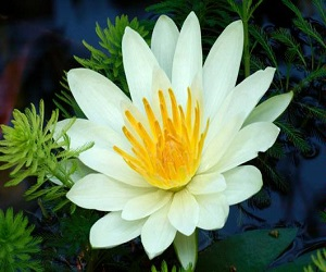 The Yellow Water Lily