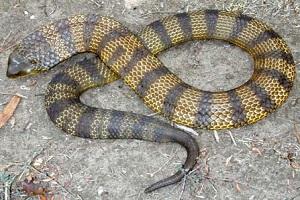 Tiger Snake