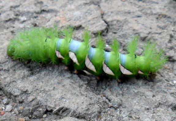 Assassin Caterpillar
