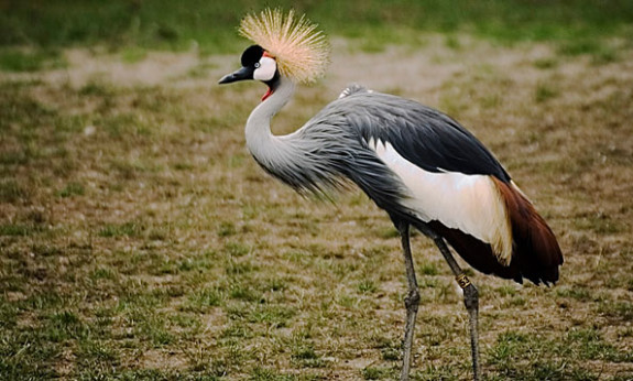 The African Crowned Crane
