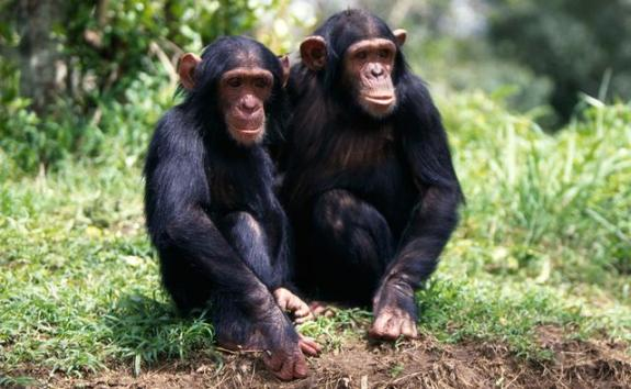 Apes (Gorillas & Chimpanzees)